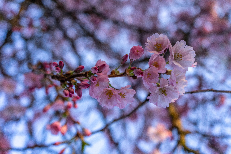 Cherry blossoms Victoria BC