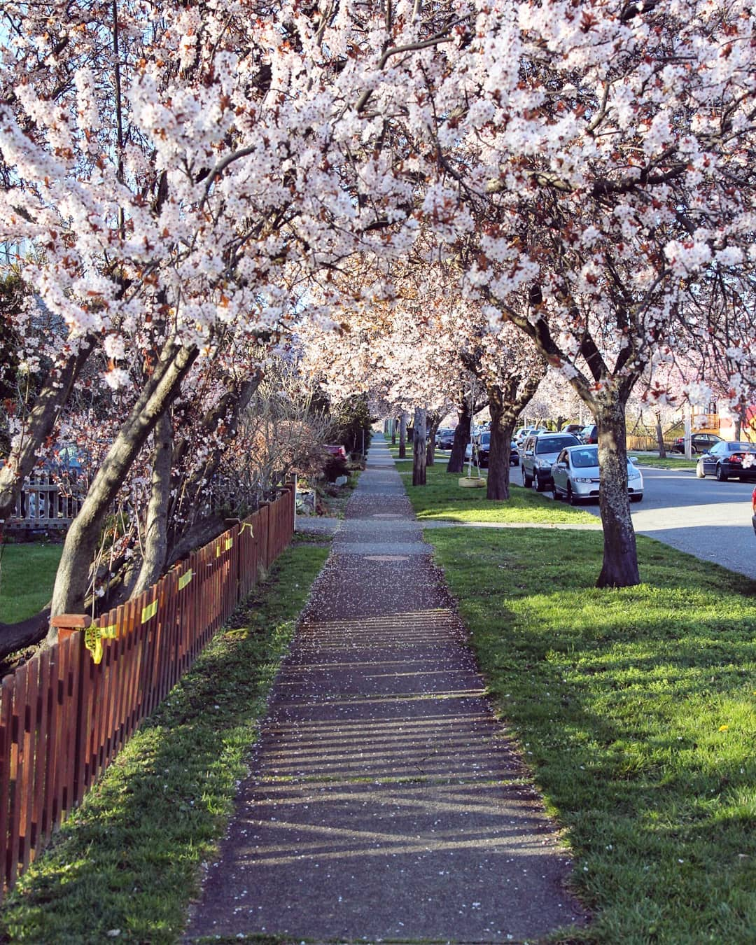 Cherry Blossom Arch Victoria BC Canada