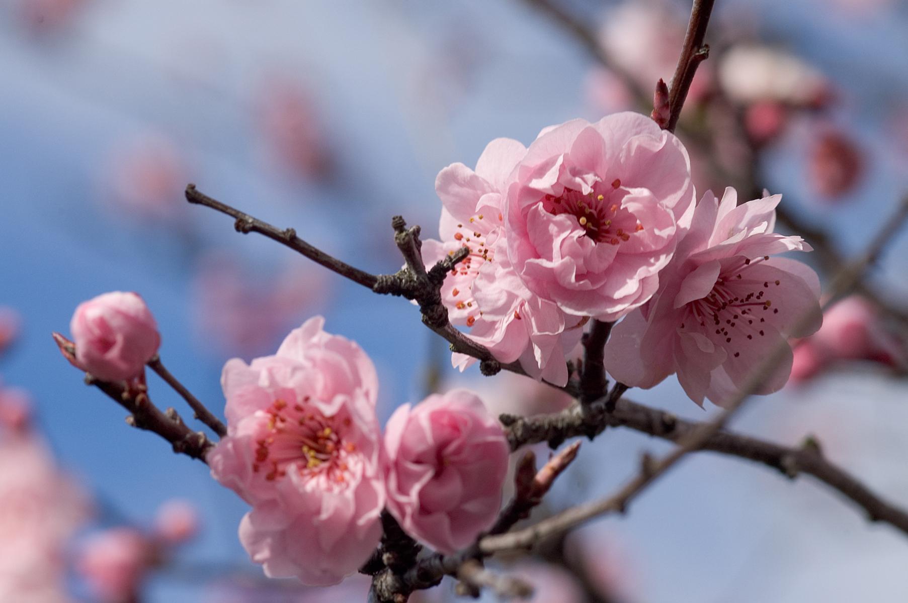 Cherry Blossoms Victoria