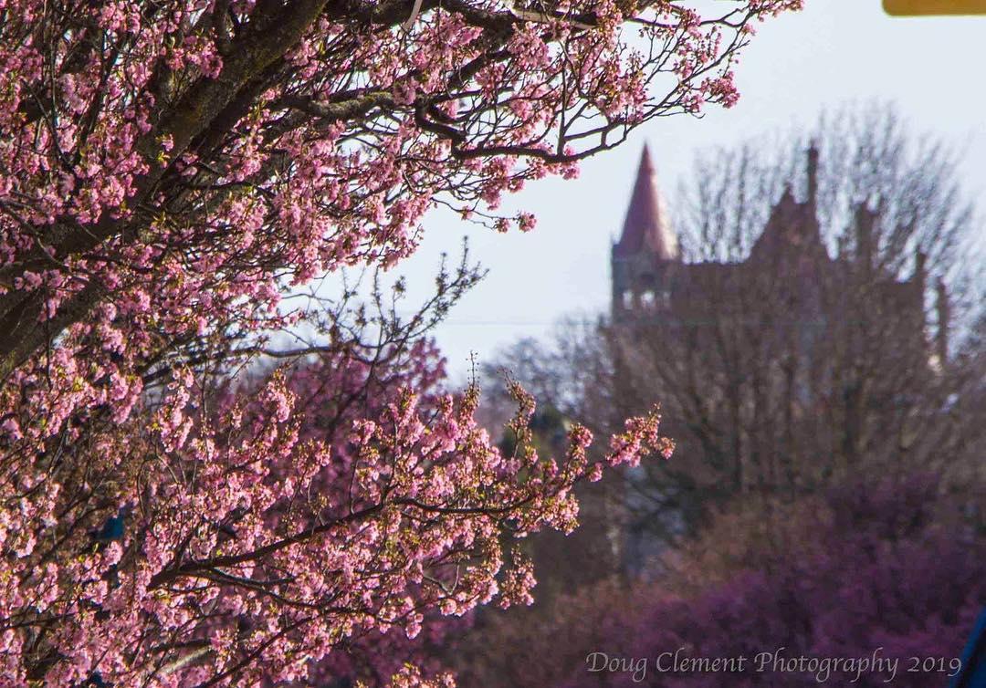 Victoria Cherry Blossoms