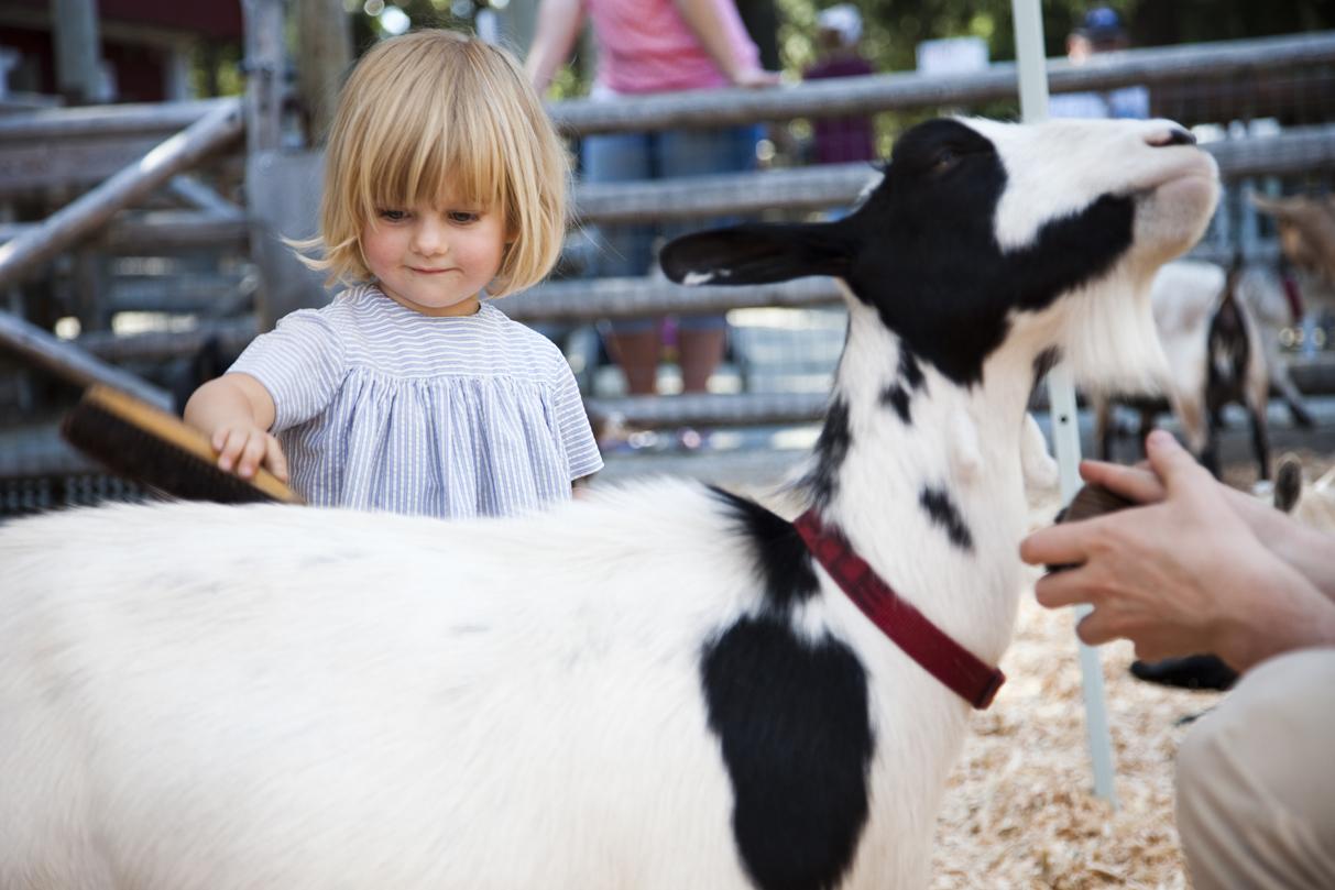 Beacon Hill Children's Farm Running of the Goats