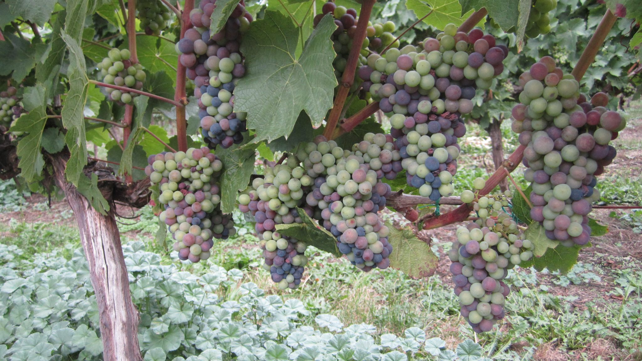 A Guide to the Cowichan Valley Wine Region   Tourism Victoria