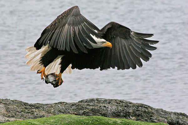 Bald Eagle Goldstream